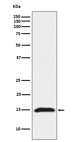 Figure 1. Western blot analysis of IFITM3 using anti-IFITM3 antibody (M02265).<br>Electrophoresis was performed on a 5-20% SDS-PAGE gel at 70V (Stacking gel) / 90V (Resolving gel) for 2-3 hours. The sample well of each lane was loaded with 50ug of sample under reducing conditions. <br>After Electrophoresis, proteins were transferred to a Nitrocellulose membrane at 150mA for 50-90 minutes. Blocked the membrane with 5% Non-fat Milk/ TBS for 1.5 hour at RT. The membrane was incubated with rabbit anti-IFITM3 antigen affinity purified polyclonal antibody (Catalog # M02265) at 0.5 ug/mL overnight at 4°C, then washed with TBS-0.1%Tween 3 times with 5 minutes each and probed with a goat anti-Rabbit IgG IgG-HRP secondary antibody at a dilution of 1:10000 for 1.5 hour at RT. The signal is developed using an Enhanced Chemiluminescent detection (ECL) kit (Catalog # SA1022) with Tanon 5200 system. A specific band was detected for IFITM3.