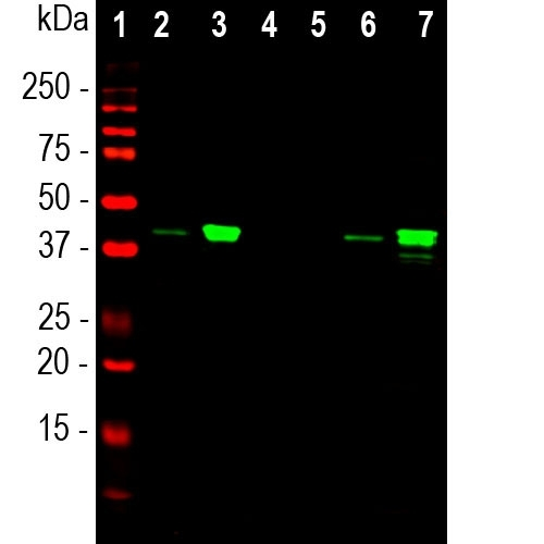 Western blot analysis of whole cell lysates, cytosol or nuclear enriched fractions, using mouse mAb to MBNL1, M02309, dilution 1:1,000 in green: [1] protein standard (red), [2] HEK293 cytosol, [3] HEK293 nuclear fraction, [4] NIH-3T3 cytosol, [5] NIH-3T3 nuclear fraction, [6] HeLa cytosol, and [7] HeLa nuclear fraction. The strong band at the 40kDa corresponds to the MBNL1 protein that is predominantly detected in the nuclear enriched fractions. This antibody binds exclusively to the human protein and does not bind the rodent homologue.