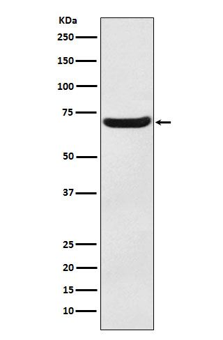 Figure 1. Western blot analysis of SLC1A1 using anti-SLC1A1 antibody (M02367).<br>Electrophoresis was performed on a 5-20% SDS-PAGE gel at 70V (Stacking gel) / 90V (Resolving gel) for 2-3 hours. The sample well of each lane was loaded with 50ug of sample under reducing conditions. <br>After Electrophoresis, proteins were transferred to a Nitrocellulose membrane at 150mA for 50-90 minutes. Blocked the membrane with 5% Non-fat Milk/ TBS for 1.5 hour at RT. The membrane was incubated with rabbit anti-SLC1A1 antigen affinity purified polyclonal antibody (Catalog # M02367) at 0.5 ug/mL overnight at 4°C, then washed with TBS-0.1%Tween 3 times with 5 minutes each and probed with a goat anti-Rabbit IgG IgG-HRP secondary antibody at a dilution of 1:10000 for 1.5 hour at RT. The signal is developed using an Enhanced Chemiluminescent detection (ECL) kit (Catalog # SA1022) with Tanon 5200 system. A specific band was detected for SLC1A1.