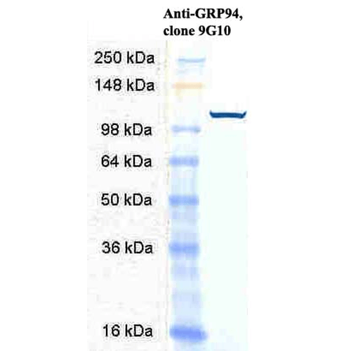 Figure 3. Western blot analysis of HSP90B1 using anti-HSP90B1 antibody (M02393-2).<br>Electrophoresis was performed on a 5-20% SDS-PAGE gel at 70V (Stacking gel) / 90V (Resolving gel) for 2-3 hours. The sample well of each lane was loaded with 50ug of sample under reducing conditions. <br>After Electrophoresis, proteins were transferred to a Nitrocellulose membrane at 150mA for 50-90 minutes. Blocked the membrane with 5% Non-fat Milk/ TBS for 1.5 hour at RT. The membrane was incubated with rabbit anti-HSP90B1 antigen affinity purified polyclonal antibody (Catalog # M02393-2) at 0.5 ug/mL overnight at 4°C, then washed with TBS-0.1%Tween 3 times with 5 minutes each and probed with a goat anti-Rat IgG-HRP secondary antibody at a dilution of 1:10000 for 1.5 hour at RT. The signal is developed using an Enhanced Chemiluminescent detection (ECL) kit (Catalog # SA1025) with Tanon 5200 system. A specific band was detected for HSP90B1.