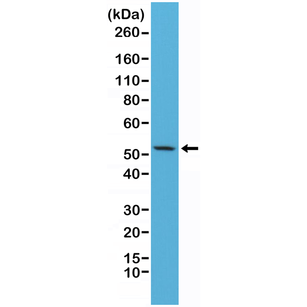 Figure 1. Western Blotting result<br>Western Blot of HeLa cells lysates using Anti-CK7 Rabbit Monoclonal Antibody (Clone RM284) at a 1:2500 dilution.