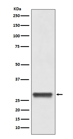 Western blot analysis of 14-3-3 expression in Hela lysate (M02431-1).
