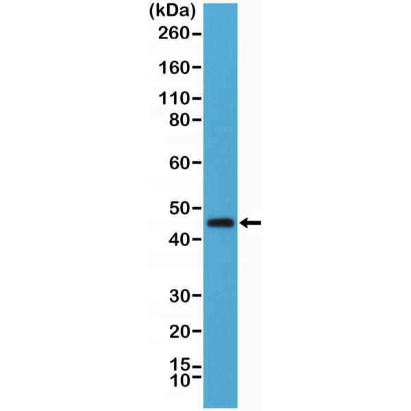 Figure 1. Western Blotting result<br>Western Blot of human spleen tissue lysate using anti-OX40 (CD134) rabbit monoclonal antibody (Clone RM313) at a 1:1000 dilution.