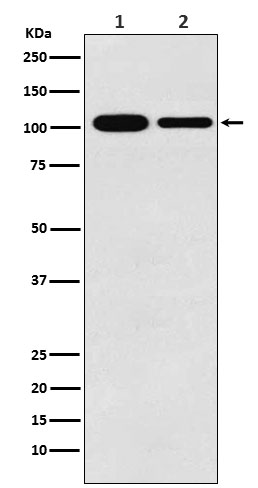 Figure 1. Western blot analysis of MCM3 using anti-MCM3 antibody (M02580).<br>Electrophoresis was performed on a 5-20% SDS-PAGE gel at 70V (Stacking gel) / 90V (Resolving gel) for 2-3 hours. The sample well of each lane was loaded with 50ug of sample under reducing conditions. <br>After Electrophoresis, proteins were transferred to a Nitrocellulose membrane at 150mA for 50-90 minutes. Blocked the membrane with 5% Non-fat Milk/ TBS for 1.5 hour at RT. The membrane was incubated with rabbit anti-MCM3 antigen affinity purified polyclonal antibody (Catalog # M02580) at 0.5 ug/mL overnight at 4°C, then washed with TBS-0.1%Tween 3 times with 5 minutes each and probed with a goat anti-Rabbit IgG IgG-HRP secondary antibody at a dilution of 1:10000 for 1.5 hour at RT. The signal is developed using an Enhanced Chemiluminescent detection (ECL) kit (Catalog # SA1022) with Tanon 5200 system. A specific band was detected for MCM3.