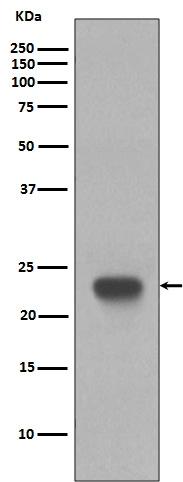 Anti-CD3 epsilon Rabbit Monoclonal Antibody