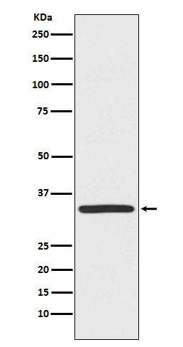 Figure 1. Western blot analysis of TRADD expression in Hela cell lysate using anti-TRADD antibody (M02785).