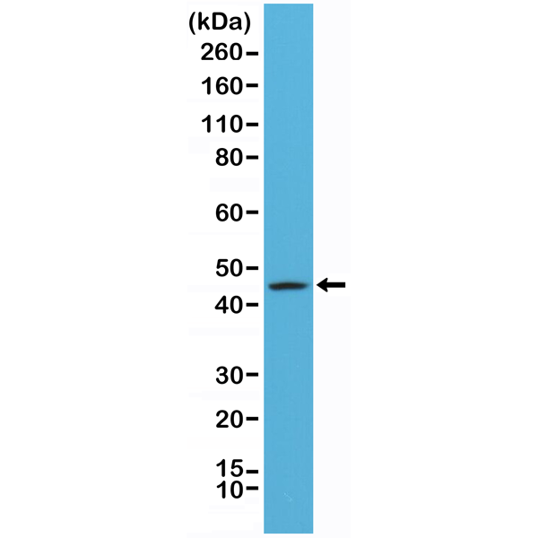 Figure 1. Western Blotting result<br>Western Blot of A431 cells lysates using Anti-CK20 Rabbit Monoclonal Antibody (Clone RM283) at a 1:1000 dilution.