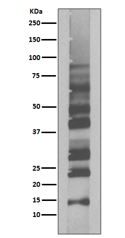 Western blot analysis of Ubiquitin expression in K63-linked-Ub2 recombinant protein (M02848-2). <br>Electrophoresis was performed on a 5-20% SDS-PAGE gel at 70V (Stacking gel) / 90V (Resolving gel) for 2-3 hours. The sample well of each lane was loaded with 50ug of sample under reducing conditions. <br> After Electrophoresis, proteins were transferred to a Nitrocellulose membrane at 150mA for 50-90 minutes. Blocked the membrane with 5% Non-fat Milk/ TBS for 1.5 hour at RT. The membrane was incubated with rabbit anti-UBB monoclonal antibody (Catalog # M02848-2)  overnight at 4℃, then washed with TBS-0.1%Tween 3 times with 5 minutes each and probed with a goat anti-rabbit IgG-HRP secondary antibody at a dilution of 1:10000 for 1.5 hour at RT. The signal is developed using an Enhanced Chemiluminescent detection (ECL) kit (Catalog # EK1002) with Tanon 5200 system. A specific band was detected for UBB