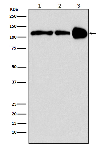 Figure 1. Western blot analysis of PPARGC1B using anti-PPARGC1B antibody (M02933).<br>Electrophoresis was performed on a 5-20% SDS-PAGE gel at 70V (Stacking gel) / 90V (Resolving gel) for 2-3 hours. The sample well of each lane was loaded with 50ug of sample under reducing conditions. <br>After Electrophoresis, proteins were transferred to a Nitrocellulose membrane at 150mA for 50-90 minutes. Blocked the membrane with 5% Non-fat Milk/ TBS for 1.5 hour at RT. The membrane was incubated with rabbit anti-PPARGC1B antigen affinity purified polyclonal antibody (Catalog # M02933) at 0.5 ug/mL overnight at 4°C, then washed with TBS-0.1%Tween 3 times with 5 minutes each and probed with a goat anti-Rabbit IgG IgG-HRP secondary antibody at a dilution of 1:10000 for 1.5 hour at RT. The signal is developed using an Enhanced Chemiluminescent detection (ECL) kit (Catalog # SA1022) with Tanon 5200 system. A specific band was detected for PPARGC1B.