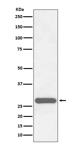 Western blot analysis of CITED2 expression in HeLa cell lysate (M02966).