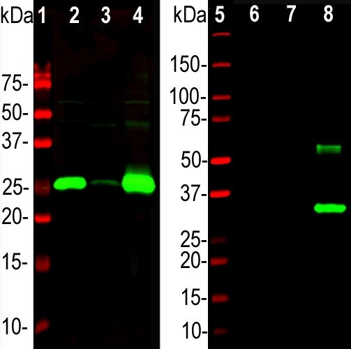 Western blot analysis of different tissue lysates and recombinant protein solutions using chicken pAb to calbindin, M03047-2, dilution 1:5,000 in green: [1] protein standard (red), [2] rat cerebellum, [3] pig hippocampus, [4] cow cerebellum, [5] protein standard (red). Next lanes are full length recombinant human proteins, [6] Parvalbumin, [7] Calretinin, [8] Calbindin. Bands at 25kDa in tissue lysates and ~30 kDa in protein solutions correspond to calbindin, the recombinant form being slightly larger due to the presence of a His tag and other vector derived sequence. The M03047-2 antibody specifically recognizes calbindin protein and does not react with the closely related proteins parvalbumin and calretinin.
