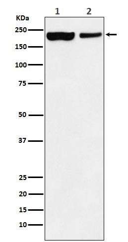 Figure 1. Western blot analysis of KDM5A using anti-KDM5A antibody (M03079).<br>Electrophoresis was performed on a 5-20% SDS-PAGE gel at 70V (Stacking gel) / 90V (Resolving gel) for 2-3 hours. The sample well of each lane was loaded with 50ug of sample under reducing conditions. <br>After Electrophoresis, proteins were transferred to a Nitrocellulose membrane at 150mA for 50-90 minutes. Blocked the membrane with 5% Non-fat Milk/ TBS for 1.5 hour at RT. The membrane was incubated with rabbit anti-KDM5A antigen affinity purified polyclonal antibody (Catalog # M03079) at 0.5 ug/mL overnight at 4°C, then washed with TBS-0.1%Tween 3 times with 5 minutes each and probed with a goat anti-Rabbit IgG IgG-HRP secondary antibody at a dilution of 1:10000 for 1.5 hour at RT. The signal is developed using an Enhanced Chemiluminescent detection (ECL) kit (Catalog # SA1022) with Tanon 5200 system. A specific band was detected for KDM5A.
