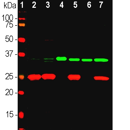 Western blot analysis of different tissue and cell line lysates using mouse mAb to fibrillarin M03178-3, dilution 1:2,000, in green: [1] protein standard (red), [2] rat whole brain, [3] mouse whole brain, [4] NIH-3T3 cells,[5] HEK293, [6] HeLa, and [7] SH-SY5Y cells. Strong band at ~35kDa corresponds