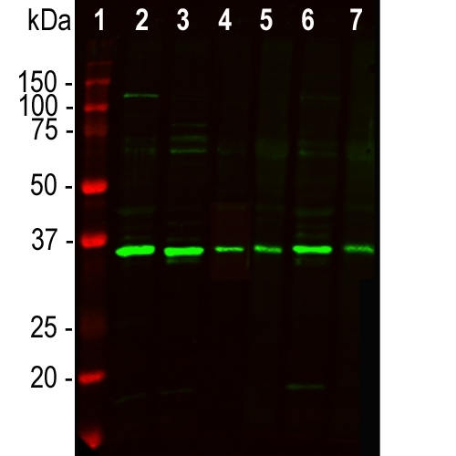Western blot analysis of cell lysates using rabbit pAb to fibrillarin M03178-4, dilution 1:5,000, in green: [1] protein standard (red), [2] NIH-3T3, [3] HEK293, [4] HeLa, [5] SH-SY5Y, [6] C6, and [7] COS1 cells. The strong band at ~35kDa corresponds to the fibrillarin protein.