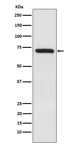 Figure 1. Western blot analysis of TRIM25 using anti-TRIM25 antibody (M03232).<br>Electrophoresis was performed on a 5-20% SDS-PAGE gel at 70V (Stacking gel) / 90V (Resolving gel) for 2-3 hours. The sample well of each lane was loaded with 50ug of sample under reducing conditions. <br>After Electrophoresis, proteins were transferred to a Nitrocellulose membrane at 150mA for 50-90 minutes. Blocked the membrane with 5% Non-fat Milk/ TBS for 1.5 hour at RT. The membrane was incubated with rabbit anti-TRIM25 antigen affinity purified polyclonal antibody (Catalog # M03232) at 0.5 ug/mL overnight at 4°C, then washed with TBS-0.1%Tween 3 times with 5 minutes each and probed with a goat anti-Rabbit IgG IgG-HRP secondary antibody at a dilution of 1:10000 for 1.5 hour at RT. The signal is developed using an Enhanced Chemiluminescent detection (ECL) kit (Catalog # SA1022) with Tanon 5200 system. A specific band was detected for TRIM25.