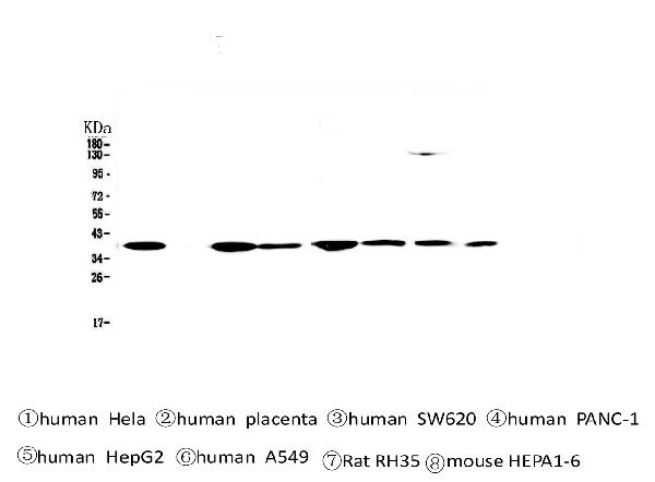 Figure 1. Western blot analysis of SMN1/2 using anti-SMN1/2 antibody (M03420-1).  <br> Electrophoresis was performed on a 5-20% SDS-PAGE gel at 70V (Stacking gel) / 90V (Resolving gel) for 2-3 hours. The sample well of each lane was loaded with 50ug of sample under reducing conditions.  <br> Lane 1: human Hela whole cell lysates, <br> Lane 2: human placenta tissue lysates, <br> Lane 3: human SW620 whole cell lysates, <br> Lane 4: human PANC-1 whole cell lysates, <br> Lane 5: human HepG2 whole cell lysates, <br> Lane 6: human A549 whole cell lysates, <br> Lane 7: rat RH35 whole cell lysates, <br> Lane 8: mouse HEPA1-6 whole cell lysates.  <br> After Electrophoresis, proteins were transferred to a Nitrocellulose membrane at 150mA for 50-90 minutes. Blocked the membrane with 5% Non-fat Milk/ TBS for 1.5 hour at RT. The membrane was incubated with mouse anti-SMN1/2 antigen affinity purified monoclonal antibody (Catalog # M03420-1) at 0.5 μg/mL overnight at 4°C, then washed with TBS-0.1%Tween 3 times with 5 minutes each and probed with a Biotin Conjugated goat anti-mouse IgG secondary antibody at a dilution of 1:10000 for 1.5 hour at RT. The signal is developed using an Enhanced Chemiluminescent detection (ECL) kit (Catalog # EK1001) with Tanon 5200 system.