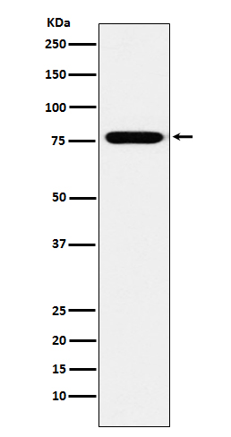 Figure 1. Western blot analysis of KIF3A using anti-KIF3A antibody (M03439).<br>Electrophoresis was performed on a 5-20% SDS-PAGE gel at 70V (Stacking gel) / 90V (Resolving gel) for 2-3 hours. The sample well of each lane was loaded with 50ug of sample under reducing conditions. <br>After Electrophoresis, proteins were transferred to a Nitrocellulose membrane at 150mA for 50-90 minutes. Blocked the membrane with 5% Non-fat Milk/ TBS for 1.5 hour at RT. The membrane was incubated with rabbit anti-KIF3A antigen affinity purified polyclonal antibody (Catalog # M03439) at 0.5 ug/mL overnight at 4°C, then washed with TBS-0.1%Tween 3 times with 5 minutes each and probed with a goat anti-Rabbit IgG IgG-HRP secondary antibody at a dilution of 1:10000 for 1.5 hour at RT. The signal is developed using an Enhanced Chemiluminescent detection (ECL) kit (Catalog # SA1022) with Tanon 5200 system. A specific band was detected for KIF3A.