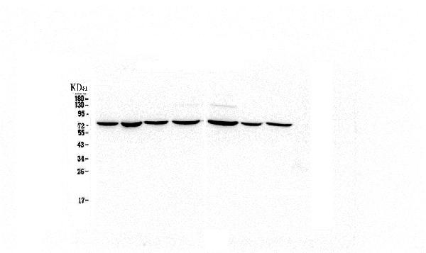 Figure 2. Western blot analysis of HSPA2 using anti-HSPA2 antibody (M03474-1).  <br>Electrophoresis was performed on a 5-20% SDS-PAGE gel at 70V (Stacking gel) / 90V (Resolving gel) for 2-3 hours. The sample well of each lane was loaded with 50ug of sample under reducing conditions.  <br>Lane 1: human Hela whole cell lysate, <br>Lane 2: human MDA-MB-231 whole cell lysate,<br>Lane 3: human COLO-320 whole cell lysate,<br>Lane 4: human PANC-1 whole cell lysate.<br>Lane 5: human HT1080 whole cell lysate,<br>Lane 6: human MDA-MB-453 whole cell lysate,<br>Lane 7: human HepG2 whole cell lysate.  <br>After Electrophoresis, proteins were transferred to a Nitrocellulose membrane at 150mA for 50-90 minutes. Blocked the membrane with 5% Non-fat Milk/ TBS for 1.5 hour at RT. The membrane was incubated with mouse anti-HSPA2 antigen affinity purified monoclonal antibody (Catalog # M03474-1) at 0.5 μg/mL overnight at 4°C, then washed with TBS-0.1%Tween 3 times with 5 minutes each and probed with a goat anti-mouse IgG-HRP secondary antibody at a dilution of 1:10000 for 1.5 hour at RT. The signal is developed using an Enhanced Chemiluminescent detection (ECL) kit (Catalog # EK1001) with Tanon 5200 system.