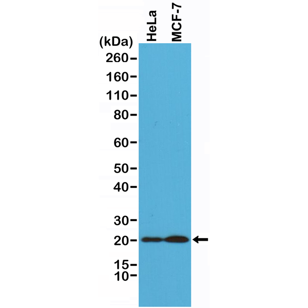 Figure 1. Western Blotting result<br>Western Blot of HeLa and MCF-7 cells lysates using Anti-Smac/Diablo Rabbit Monoclonal Antibody (Clone RM271) at a 1:1000 dilution.