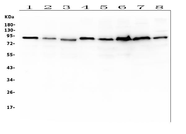 Figure 1. Western blot analysis of UBA2 using anti-UBA2 antibody (M03816-1).  <br> Electrophoresis was performed on a 5-20% SDS-PAGE gel at 70V (Stacking gel) / 90V (Resolving gel) for 2-3 hours. The sample well of each lane was loaded with 50ug of sample under reducing conditions.  <br> Lane 1: human K562 whole cell lysates<br> Lane 2: human Raji whole cell lysates<br> Lane 3: human THP-1 whole cell lysates<br> Lane 4: human SW579 whole cell lysates<br> Lane 5: human HepG2 whole cell lysates<br> Lane 6: human CCRF-CEM whole cell lysates<br> Lane 7: rat PC-12 whole cell lysates<br> Lane 8: mouse RAW246.7 whole cell lysates<br>  After Electrophoresis, proteins were transferred to a Nitrocellulose membrane at 150mA for 50-90 minutes. Blocked the membrane with 5% Non-fat Milk/ TBS for 1.5 hour at RT. The membrane was incubated with mouse anti-UBA2 antigen affinity purified monoclonal antibody (Catalog # M03816-1) at 0.5 μg/mL overnight at 4°C, then washed with TBS-0.1%Tween 3 times with 5 minutes each and probed with a goat anti-mouse IgG-HRP secondary antibody at a dilution of 1:10000 for 1.5 hour at RT. The signal is developed using an Enhanced Chemiluminescent detection (ECL) kit (Catalog # EK1001) with Tanon 5200 system. A specific band was detected for UBA2 at approximately 90KD. The expected band size for UBA2 is at 71KD.