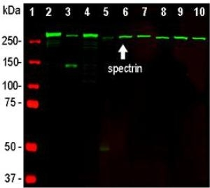 Western blot analysis of neural tissue and cell lysates using mouse mAb to ?II spectrin, M03831, in green. [1] protein standard, [2] rat whole brain, [3] rat spinal cord, [4] mouse whole brain, [5] mouse spinal cord, [6] NIH-3T3, [7] HEK293, [8] HeLa, [9] SH-SY5Y, [10] C6 glioma cells. A prominent band at about 250-260 kDa represents the intact ?II spectrin heavy chain.