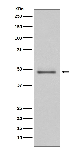 Western blot analysis of MEK5 expression in Hela cell lysate (M03980). <br>Electrophoresis was performed on a 5-20% SDS-PAGE gel at 70V (Stacking gel) / 90V (Resolving gel) for 2-3 hours. The sample well of each lane was loaded with 50ug of sample under reducing conditions. <br> After Electrophoresis, proteins were transferred to a Nitrocellulose membrane at 150mA for 50-90 minutes. Blocked the membrane with 5% Non-fat Milk/ TBS for 1.5 hour at RT. The membrane was incubated with rabbit anti-MAP2K5 monoclonal antibody (Catalog # M03980)  overnight at 4℃, then washed with TBS-0.1%Tween 3 times with 5 minutes each and probed with a goat anti-rabbit IgG-HRP secondary antibody at a dilution of 1:10000 for 1.5 hour at RT. The signal is developed using an Enhanced Chemiluminescent detection (ECL) kit (Catalog # EK1002) with Tanon 5200 system. A specific band was detected for MAP2K5