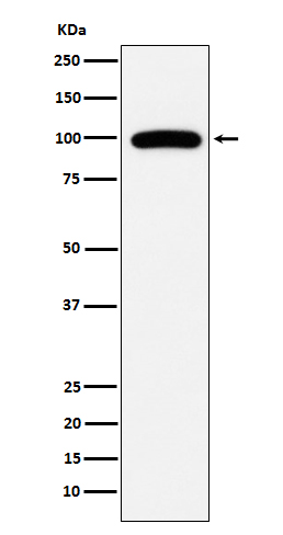 Figure 1. Western blot analysis of MME using anti-MME antibody in Ramos cell lysate (M04065-1).<br>Electrophoresis was performed on a 5-20% SDS-PAGE gel at 70V (Stacking gel) / 90V (Resolving gel) for 2-3 hours. The sample well of each lane was loaded with 50ug of sample under reducing conditions. <br>After Electrophoresis, proteins were transferred to a Nitrocellulose membrane at 150mA for 50-90 minutes. Blocked the membrane with 5% Non-fat Milk/ TBS for 1.5 hour at RT. The membrane was incubated with rabbit anti-MME antigen affinity purified polyclonal antibody (Catalog # M04065-1) at 0.5 ug/mL overnight at 4°C, then washed with TBS-0.1%Tween 3 times with 5 minutes each and probed with a goat anti-Rabbit IgG IgG-HRP secondary antibody at a dilution of 1:10000 for 1.5 hour at RT. The signal is developed using an Enhanced Chemiluminescent detection (ECL) kit (Catalog # SA1022) with Tanon 5200 system. A specific band was detected for MME.