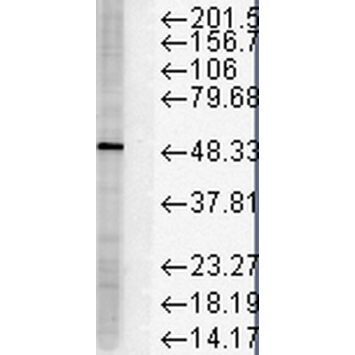 Figure 2. Western blot analysis of FKBP5 using anti-FKBP5 antibody (M04182-1).<br>Electrophoresis was performed on a 5-20% SDS-PAGE gel at 70V (Stacking gel) / 90V (Resolving gel) for 2-3 hours. The sample well of each lane was loaded with 50ug of sample under reducing conditions. <br>After Electrophoresis, proteins were transferred to a Nitrocellulose membrane at 150mA for 50-90 minutes. Blocked the membrane with 5% Non-fat Milk/ TBS for 1.5 hour at RT. The membrane was incubated with rabbit anti-FKBP5 antigen affinity purified polyclonal antibody (Catalog # M04182-1) at 0.5 ug/mL overnight at 4°C, then washed with TBS-0.1%Tween 3 times with 5 minutes each and probed with a goat anti-Mouse IgG-HRP secondary antibody at a dilution of 1:10000 for 1.5 hour at RT. The signal is developed using an Enhanced Chemiluminescent detection (ECL) kit (Catalog # SA1021) with Tanon 5200 system. A specific band was detected for FKBP5.