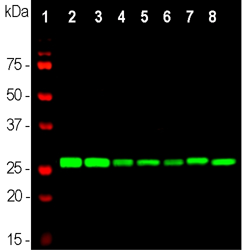 Western blot analysis of whole brain lysates (lanes 2,3), and cell lysates (lanes 4-8), using mouse mAb to 14.3.3?, M04219, dilution 1:5,000 in green: [1] protein standard (red), [2] rat brain, [3] mouse brain, [4] NIH-3T3, [5] HEK293, [6] HeLa, [7] SH-SY5Y, [8] C6 cells. Strong band at 28kDa corresponds to 14.3.3? protein, expressed in all preparations.