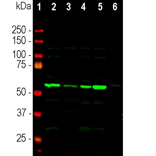 Western blot analysis of tissue lysates using rabbit pAb to coronin 1a, M04245, dilution 1:5,000: [1] protein standard, [2] mouse brain, [3] rat brain, [4] cow cerebellum, [5] cow cortex, and [6] pig spinal cord. The strong single band about 55kDa corresponds to the coronin 1a protein.