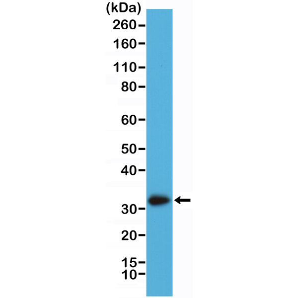Figure 1. Western Blotting result<br>Western Blot of A431 cell lysate using anti-Calretinin rabbit monoclonal antibody (Clone RM324) at a 1:2000 dilution.