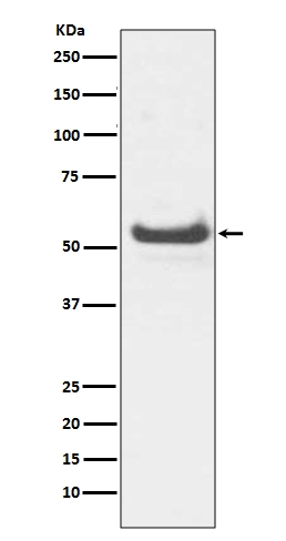 Western blot analysis of JNK3 expression in HeLa lysate (M04297). <br>Electrophoresis was performed on a 5-20% SDS-PAGE gel at 70V (Stacking gel) / 90V (Resolving gel) for 2-3 hours. The sample well of each lane was loaded with 50ug of sample under reducing conditions. <br> After Electrophoresis, proteins were transferred to a Nitrocellulose membrane at 150mA for 50-90 minutes. Blocked the membrane with 5% Non-fat Milk/ TBS for 1.5 hour at RT. The membrane was incubated with rabbit anti-MAPK10 monoclonal antibody (Catalog # M04297)  overnight at 4℃, then washed with TBS-0.1%Tween 3 times with 5 minutes each and probed with a goat anti-rabbit IgG-HRP secondary antibody at a dilution of 1:10000 for 1.5 hour at RT. The signal is developed using an Enhanced Chemiluminescent detection (ECL) kit (Catalog # EK1002) with Tanon 5200 system. A specific band was detected for MAPK10