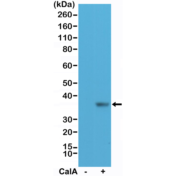Figure 1. Western Blotting result<br>Western Blot of HeLa cell lysate nontreated (-) or treated (+) with Calyculin A (CalA), using anti-phospho-eIF-2? (Ser51) rabbit monoclonal antibody (clone RM298) at a 1:200 dilution.