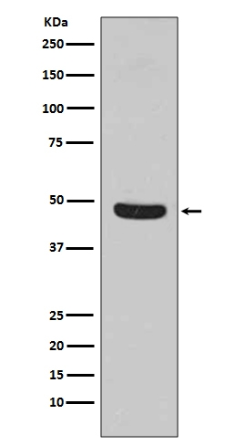 Western blot analysis of Flotillin 1 expression in HeLa cell lysate (M04517). <br>Electrophoresis was performed on a 5-20% SDS-PAGE gel at 70V (Stacking gel) / 90V (Resolving gel) for 2-3 hours. The sample well of each lane was loaded with 50ug of sample under reducing conditions. <br> After Electrophoresis, proteins were transferred to a Nitrocellulose membrane at 150mA for 50-90 minutes. Blocked the membrane with 5% Non-fat Milk/ TBS for 1.5 hour at RT. The membrane was incubated with rabbit anti-FLOT1 monoclonal antibody (Catalog # M04517)  overnight at 4℃, then washed with TBS-0.1%Tween 3 times with 5 minutes each and probed with a goat anti-rabbit IgG-HRP secondary antibody at a dilution of 1:10000 for 1.5 hour at RT. The signal is developed using an Enhanced Chemiluminescent detection (ECL) kit (Catalog # EK1002) with Tanon 5200 system. A specific band was detected for FLOT1