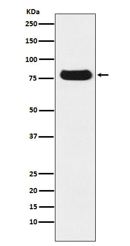 Figure 1. Western blot analysis of THOC1 using anti-THOC1 antibody (M04626).<br>Electrophoresis was performed on a 5-20% SDS-PAGE gel at 70V (Stacking gel) / 90V (Resolving gel) for 2-3 hours. The sample well of each lane was loaded with 50ug of sample under reducing conditions. <br>After Electrophoresis, proteins were transferred to a Nitrocellulose membrane at 150mA for 50-90 minutes. Blocked the membrane with 5% Non-fat Milk/ TBS for 1.5 hour at RT. The membrane was incubated with rabbit anti-THOC1 antigen affinity purified polyclonal antibody (Catalog # M04626) at 0.5 ug/mL overnight at 4°C, then washed with TBS-0.1%Tween 3 times with 5 minutes each and probed with a goat anti-Rabbit IgG IgG-HRP secondary antibody at a dilution of 1:10000 for 1.5 hour at RT. The signal is developed using an Enhanced Chemiluminescent detection (ECL) kit (Catalog # SA1022) with Tanon 5200 system. A specific band was detected for THOC1.