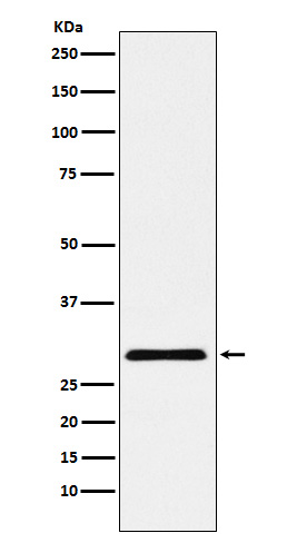 Figure 1. Western blot analysis of CBX7 using anti-CBX7 antibody (M04742) in HepG2 cell lysate.<br>Electrophoresis was performed on a 5-20% SDS-PAGE gel at 70V (Stacking gel) / 90V (Resolving gel) for 2-3 hours. The sample well of each lane was loaded with 50ug of sample under reducing conditions. <br>After Electrophoresis, proteins were transferred to a Nitrocellulose membrane at 150mA for 50-90 minutes. Blocked the membrane with 5% Non-fat Milk/ TBS for 1.5 hour at RT. The membrane was incubated with rabbit anti-CBX7 antigen affinity purified polyclonal antibody (Catalog # M04742) at 0.5 ug/mL overnight at 4°C, then washed with TBS-0.1%Tween 3 times with 5 minutes each and probed with a goat anti-Rabbit IgG IgG-HRP secondary antibody at a dilution of 1:10000 for 1.5 hour at RT. The signal is developed using an Enhanced Chemiluminescent detection (ECL) kit (Catalog # SA1022) with Tanon 5200 system. A specific band was detected for CBX7.
