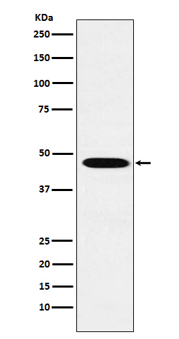 Figure 1. Western blot analysis of WNT2B using anti-WNT2B antibody (M04879).<br>Electrophoresis was performed on a 5-20% SDS-PAGE gel at 70V (Stacking gel) / 90V (Resolving gel) for 2-3 hours. The sample well of each lane was loaded with 50ug of sample under reducing conditions. <br>After Electrophoresis, proteins were transferred to a Nitrocellulose membrane at 150mA for 50-90 minutes. Blocked the membrane with 5% Non-fat Milk/ TBS for 1.5 hour at RT. The membrane was incubated with rabbit anti-WNT2B antigen affinity purified polyclonal antibody (Catalog # M04879) at 0.5 ug/mL overnight at 4°C, then washed with TBS-0.1%Tween 3 times with 5 minutes each and probed with a goat anti-Rabbit IgG IgG-HRP secondary antibody at a dilution of 1:10000 for 1.5 hour at RT. The signal is developed using an Enhanced Chemiluminescent detection (ECL) kit (Catalog # SA1022) with Tanon 5200 system. A specific band was detected for WNT2B.