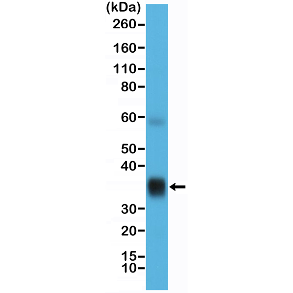 Figure 1. Western Blotting result<br>Western Blot of human lung tissue lysate using anti-Surfactant protein A (SP-A) rabbit monoclonal antibody (Clone RM334) at a 1:10,000 dilution.