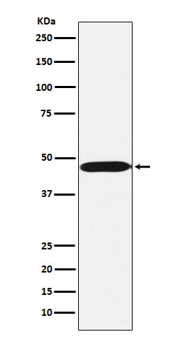 Figure 1. Western blot analysis of ACTL6A using anti-ACTL6A antibody (M05553) in Ramos cell lysate.<br>Electrophoresis was performed on a 5-20% SDS-PAGE gel at 70V (Stacking gel) / 90V (Resolving gel) for 2-3 hours. The sample well of each lane was loaded with 50ug of sample under reducing conditions. <br>After Electrophoresis, proteins were transferred to a Nitrocellulose membrane at 150mA for 50-90 minutes. Blocked the membrane with 5% Non-fat Milk/ TBS for 1.5 hour at RT. The membrane was incubated with rabbit anti-ACTL6A antigen affinity purified polyclonal antibody (Catalog # M05553) at 0.5 ug/mL overnight at 4°C, then washed with TBS-0.1%Tween 3 times with 5 minutes each and probed with a goat anti-Rabbit IgG IgG-HRP secondary antibody at a dilution of 1:10000 for 1.5 hour at RT. The signal is developed using an Enhanced Chemiluminescent detection (ECL) kit (Catalog # SA1022) with Tanon 5200 system. A specific band was detected for ACTL6A.