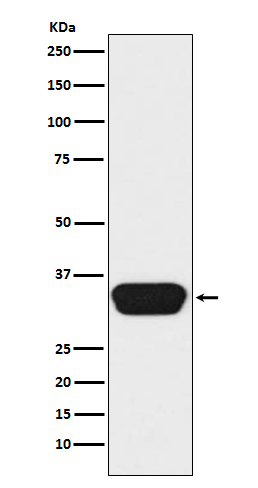 Figure 1. Western blot analysis of OTX1 using anti-OTX1 antibody (M05601-1).<br>Electrophoresis was performed on a 5-20% SDS-PAGE gel at 70V (Stacking gel) / 90V (Resolving gel) for 2-3 hours. The sample well of each lane was loaded with 50ug of sample under reducing conditions. <br>After Electrophoresis, proteins were transferred to a Nitrocellulose membrane at 150mA for 50-90 minutes. Blocked the membrane with 5% Non-fat Milk/ TBS for 1.5 hour at RT. The membrane was incubated with rabbit anti-OTX1 antigen affinity purified polyclonal antibody (Catalog # M05601-1) at 0.5 ug/mL overnight at 4°C, then washed with TBS-0.1%Tween 3 times with 5 minutes each and probed with a goat anti-Rabbit IgG IgG-HRP secondary antibody at a dilution of 1:10000 for 1.5 hour at RT. The signal is developed using an Enhanced Chemiluminescent detection (ECL) kit (Catalog # SA1022) with Tanon 5200 system. A specific band was detected for OTX1.