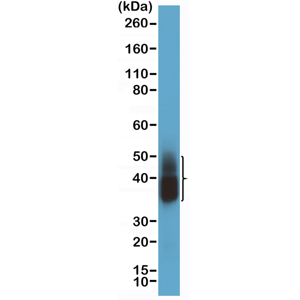 Figure 2. Western Blotting result<br>Western Blot of human lung tissue lysate using anti-Napsin-A rabbit monoclonal antibody (Clone RM366) at a 1:2000 dilution.