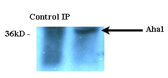 Immunoprecipitation analysis using Rat Anti-Aha1 Monoclonal Antibody, Clone 25F2.D9 (M05733-1) . Tissue: HeLa cells. Species: Human. Primary Antibody: Rat Anti-Aha1 Monoclonal Antibody (M05733-1) at 1:1000.