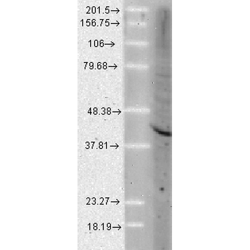 Figure 4. Western blot analysis of Ahsa1 using anti-Ahsa1 antibody (M05733-1).<br>Electrophoresis was performed on a 5-20% SDS-PAGE gel at 70V (Stacking gel) / 90V (Resolving gel) for 2-3 hours. The sample well of each lane was loaded with 50ug of sample under reducing conditions. <br>After Electrophoresis, proteins were transferred to a Nitrocellulose membrane at 150mA for 50-90 minutes. Blocked the membrane with 5% Non-fat Milk/ TBS for 1.5 hour at RT. The membrane was incubated with rabbit anti-Ahsa1 antigen affinity purified polyclonal antibody (Catalog # M05733-1) at 0.5 ug/mL overnight at 4°C, then washed with TBS-0.1%Tween 3 times with 5 minutes each and probed with a goat anti-Rat IgG-HRP secondary antibody at a dilution of 1:10000 for 1.5 hour at RT. The signal is developed using an Enhanced Chemiluminescent detection (ECL) kit (Catalog # SA1025) with Tanon 5200 system. A specific band was detected for Ahsa1.