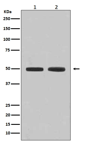 Western blot analysis of Flotillin 1 expression in (1) HeLa cell lysate; (2) K562 cell lysate (M05980). <br>Electrophoresis was performed on a 5-20% SDS-PAGE gel at 70V (Stacking gel) / 90V (Resolving gel) for 2-3 hours. The sample well of each lane was loaded with 50ug of sample under reducing conditions. <br> After Electrophoresis, proteins were transferred to a Nitrocellulose membrane at 150mA for 50-90 minutes. Blocked the membrane with 5% Non-fat Milk/ TBS for 1.5 hour at RT. The membrane was incubated with rabbit anti-Flotillin 1 monoclonal antibody (Catalog # M05980)  overnight at 4°C, then washed with TBS-0.1%Tween 3 times with 5 minutes each and probed with a goat anti-rabbit IgG-HRP secondary antibody at a dilution of 1:10000 for 1.5 hour at RT. The signal is developed using an Enhanced Chemiluminescent detection (ECL) kit (Catalog # EK1002) with Tanon 5200 system. A specific band was detected for Flotillin 1