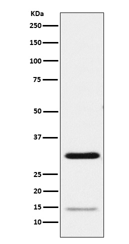 Figure 1. Western blot analysis of GMNN using anti-GMNN antibody (M06060).<br>Electrophoresis was performed on a 5-20% SDS-PAGE gel at 70V (Stacking gel) / 90V (Resolving gel) for 2-3 hours. The sample well of each lane was loaded with 50ug of sample under reducing conditions. <br>After Electrophoresis, proteins were transferred to a Nitrocellulose membrane at 150mA for 50-90 minutes. Blocked the membrane with 5% Non-fat Milk/ TBS for 1.5 hour at RT. The membrane was incubated with rabbit anti-GMNN antigen affinity purified polyclonal antibody (Catalog # M06060) at 0.5 ug/mL overnight at 4°C, then washed with TBS-0.1%Tween 3 times with 5 minutes each and probed with a goat anti-Rabbit IgG IgG-HRP secondary antibody at a dilution of 1:10000 for 1.5 hour at RT. The signal is developed using an Enhanced Chemiluminescent detection (ECL) kit (Catalog # SA1022) with Tanon 5200 system. A specific band was detected for GMNN.