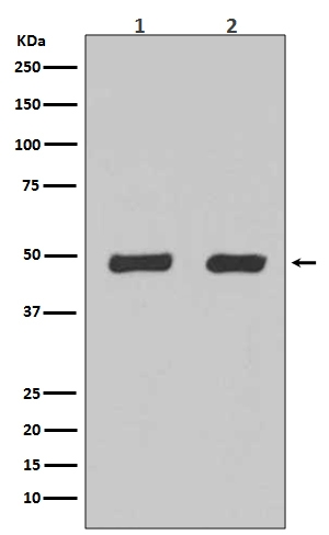 Western blot analysis of Flotillin-2 expression in (1) Hela cell lysate;(2) 293 cell lysate (M06107). <br>Electrophoresis was performed on a 5-20% SDS-PAGE gel at 70V (Stacking gel) / 90V (Resolving gel) for 2-3 hours. The sample well of each lane was loaded with 50ug of sample under reducing conditions. <br> After Electrophoresis, proteins were transferred to a Nitrocellulose membrane at 150mA for 50-90 minutes. Blocked the membrane with 5% Non-fat Milk/ TBS for 1.5 hour at RT. The membrane was incubated with rabbit anti-FLOT2 monoclonal antibody (Catalog # M06107)  overnight at 4℃, then washed with TBS-0.1%Tween 3 times with 5 minutes each and probed with a goat anti-rabbit IgG-HRP secondary antibody at a dilution of 1:10000 for 1.5 hour at RT. The signal is developed using an Enhanced Chemiluminescent detection (ECL) kit (Catalog # EK1002) with Tanon 5200 system. A specific band was detected for FLOT2