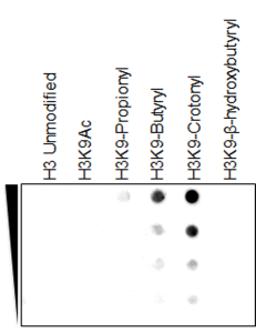 Figure 2. Dot Blot result<br>A Peptide dotblot showing Anti-Histone H3K9cr Rabbit Monoclonal Antibody RM339 reacts specifically to Histone H3 crotonylated at Lysine 9 (H3K9-Crotonyl), and RM339