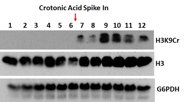 Figure 1. Western Blotting result<br>Western Blot using Anti-Histone H3K9cr Rabbit Monoclonal Antibody RM339 against H3K9cr [Crotonyl-Histone H3 (Lys9)]. Anti-Histone H3 and anti-G6PDH were used as controls. A crotonylation inducing metabolite was used to increase the H3K9cr signal.
