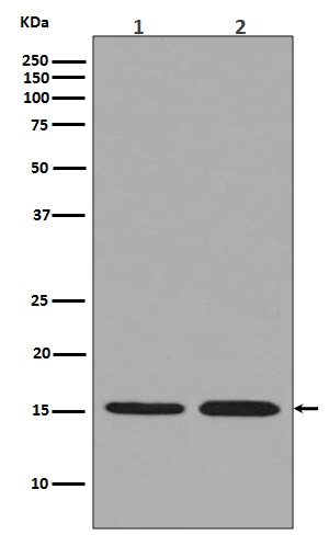 Western blot analysis of Histone H33 expression in (1) HeLa cell lysate; (2) NIH/3T3 cell lysate (M06819).