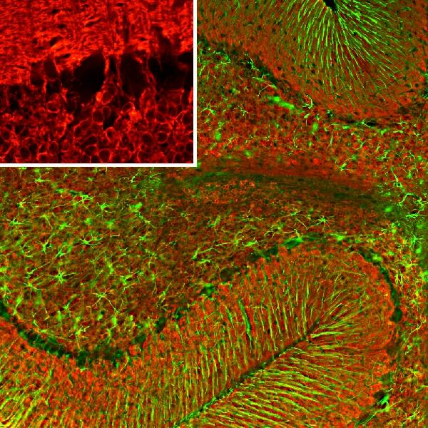 Immunofluorescent analysis of rat cerebellum section stained with mouse mAb to VLP1, M06959-1, dilution 1:500, in red and costained with rabbit pAb to GFAP, dilution 1:5,000 in green. The blue is DAPI staining of nuclear DNA. Following transcardial perfusion of rat with 4% paraformaldehyde, brain was post fixed for 24 hours, cut to 45?M, and free-floating sections were stained with the above antibodies. The VLP1 antibody reveals protein expressed in granule cell membranes and in synapses in the white matter and molecular layers of the cerebellum. The GFAP antibody stains the processes of Bergmann glia and astroglia.